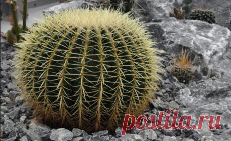 Эхинокактус – удивительные колючие шары Эхинокактус – род многолетних растений с шаровидным стеблем. Относится к семейству Кактусовые и распространен в мексиканской пустыне и юго-западных регионах