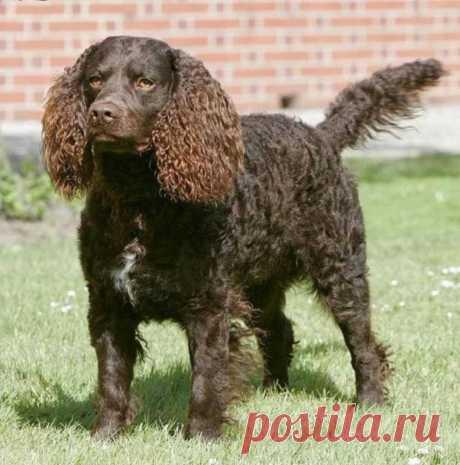 Американский водяной спаниель: характеристики породы собаки, фото, характер, правила ухода и содержания
