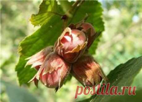 Фундук: полезные свойства и противопоказания орехов для мужчин и женщин