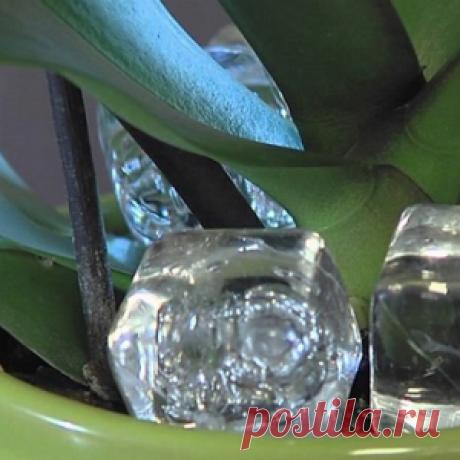 ¡Pongan el cubito de hielo en el puchero con la orquídea, y veréis como esto la ayudará!