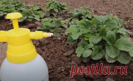 Трижды за сезон обрабатываю клубнику аммиачной водой, поэтому она обильно плодоносит, не подвержена болезням и вредителям