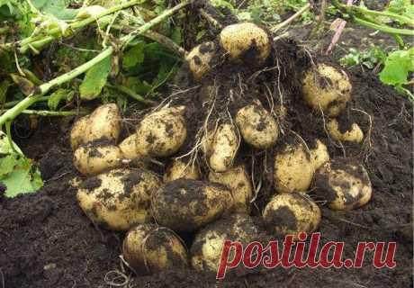 Как с 20-ти кустов собрать 40 вёдер картофеля  Как с 20-ти кустов собрать 40 вёдер картофеля Можно ли вырастить с одного куста — целое ведро картофеля? Можно!!! И сейчас я вам расскажу как это сделать. Я нашла в Журнале о садоводстве вот такие за…