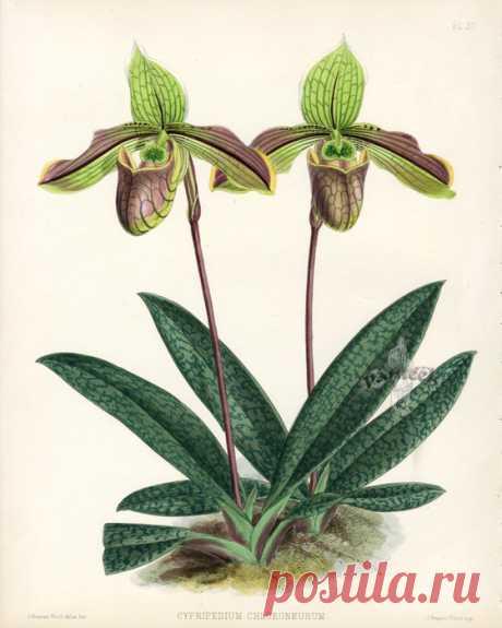 Warner Orchid Album Prints 1882. Цветочные иллюстрации - орхидеи.