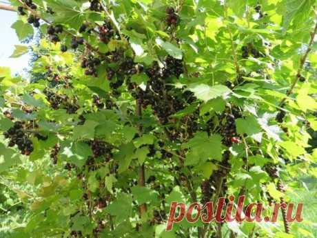 Желе из черной смородины. Хранится даже при комнатной температуре | Сад в городе | Яндекс Дзен