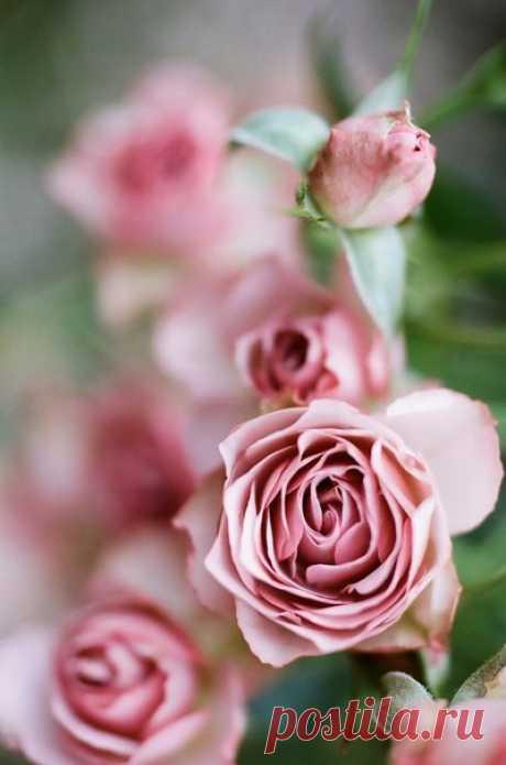 Как вырастить розу из срезанного цветка / Рукоделие