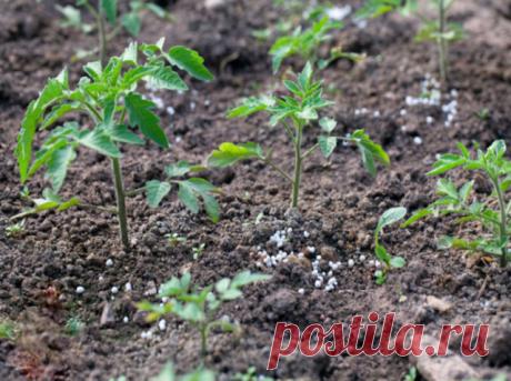 УДОБРЕНИЕ ПОМИДОРОВ Рассаду помидоров поливают раствором йода для более быстрого роста (1 капля на три литра).