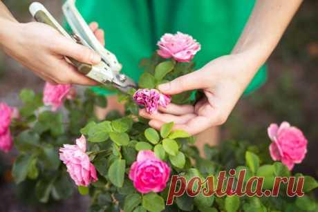 6 обязательных процедур после цветения роз