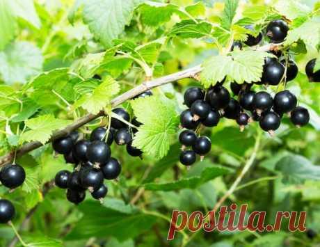 Сода для высокого урожая смородины | Азбука огородника | Яндекс Дзен