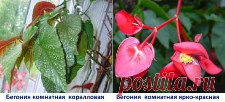 La begonia de habitación — la partida y la cultivación