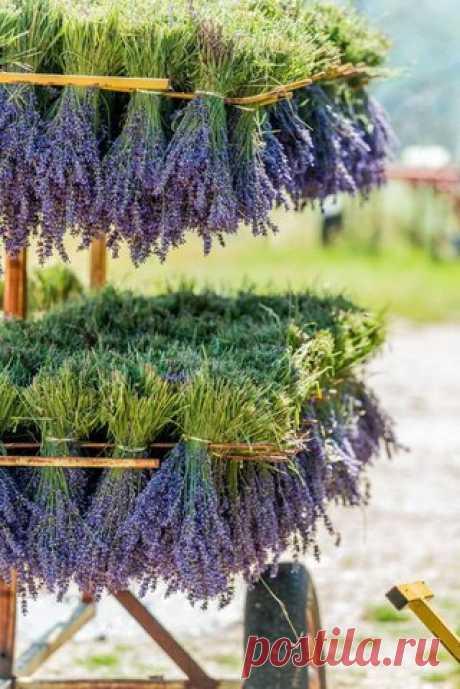Как вырастить лаванду на даче - Садовые растения, советы - Всё для сада и огорода - Каталог статей - Всё для жизни