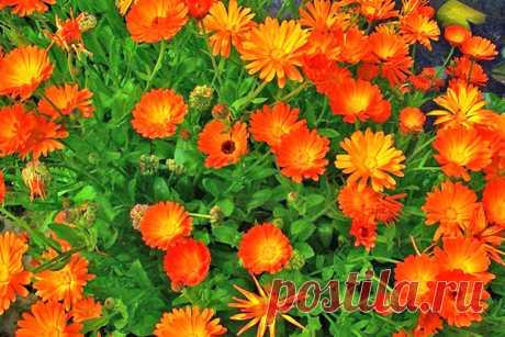 Какие однолетники можно посадить сразу в грунт. Календула.сажать когда почва оттает Настурция сажать можно и в конце марта и в начале апреля Однолетний флокс Друмонда Его можно посеять в апреле в теплицу.а потом рассадить по саду. Лен крупноцветковый сеем его как оттает почва Маргаритка Ее стоит посеять только 1 раз...