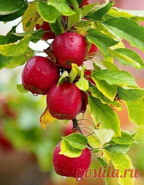 АВГУСТ.....       Яблоками пахнет....