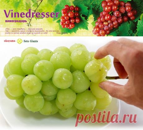 Сорт винограда Сето Гигант (Момотаро) - описание и фото