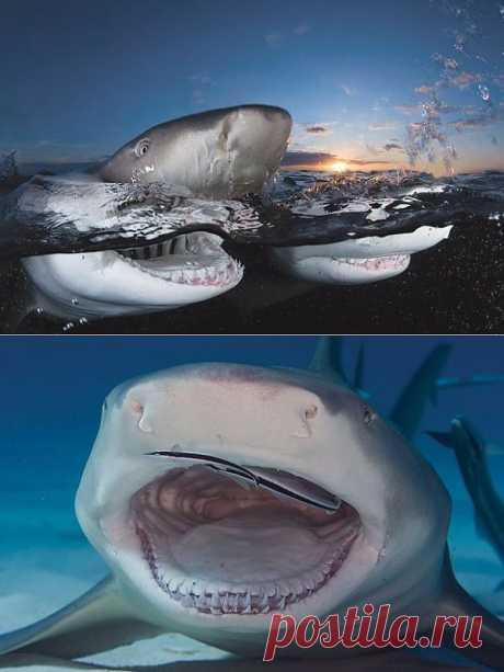 Акула - идеальный хищник, которого природа удачно создала еще миллионы лет назад. Почему удачно? Да потому, что трудно найти более совершенный, и, в то же время, более древний организм, столь приспособленный к хищническому образу жизни, как акула. Устройство ее организма было настолько удачно отточено эволюцией, что акула выжила в многовековой борьбе за существование с разными, часто очень могучими хищниками, при этом мало изменившись в строении органов и тела.