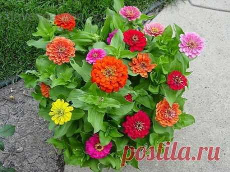 СОВЕТЫ ДАЧНИКАМ И ОГОРОДНИКАМ  С такими подкормками ваши цветы будут расти, как на дрожжах!  Оказывается, цветы могут расти как на дрожжах и для этого всего навсего Вам следует сделать подкормки для них.  Как известно, обыкновенные пекарские дрожжи - это прекрасный стимулятор роста.  Состав дрожжей богат минеральными веществами, органическим железом и микроэлементами. При растворении дрожжей в воде выделяются вещества, ускоряющие корнеобразование. Политые таким раствором р...