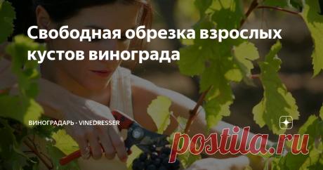 Свободная обрезка взрослых кустов винограда Начало октярбя, для виноградарей некоторых регионов обрезка винограда уже не за горами. Сегодня речь пойдет о свободной обрезке винограда, варианте наиболее применимом на практике.