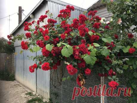 Как не загубить розы? | Провинциалка | Яндекс Дзен