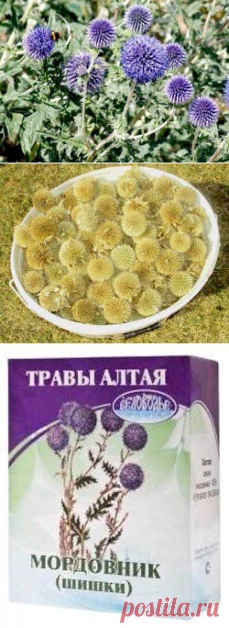 Мордовник - лечебные свойства и противопоказания растения