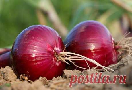 Рецепты здоровья: репчатый лук против атеросклероза