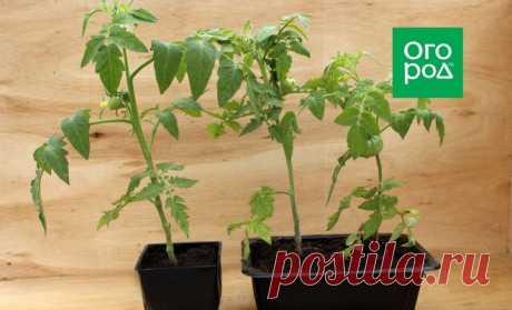 Как пересаживать томаты с завязями и плодами | На грядке (Огород.ru)