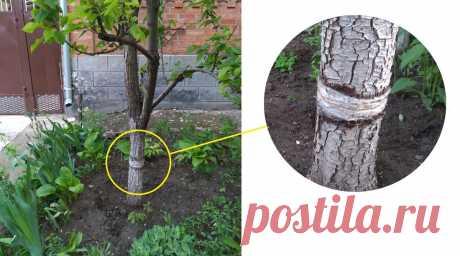 Сосед рассказал, как защищает плодовые деревья от жучков, муравьев и гусениц | Строю для себя | Яндекс Дзен