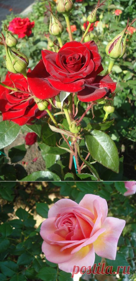 Розарии для Вашего сада — 6 соток