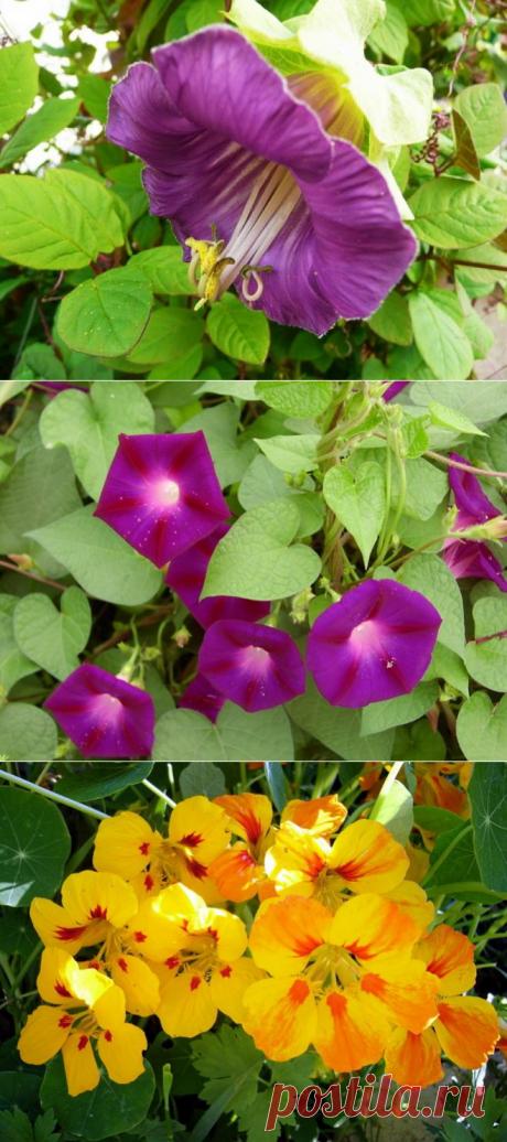 Выращиваем васильки в саду | В цветнике (Огород.ru)