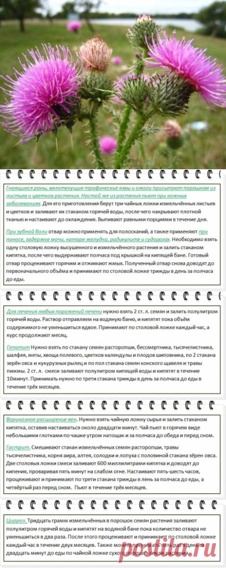 Полезные свойства расторопши и противопоказания: как принимать