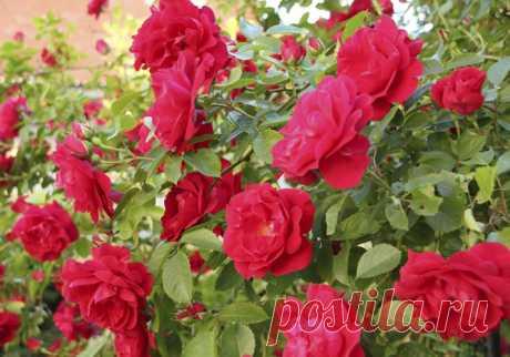 Плетистая роза посадка и уход. Как посадить розы летом в грунт | Огород