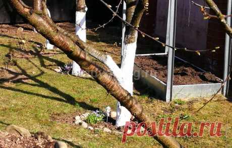 Весенний уход за садовыми плодовыми деревьями на участке | Sadvokrug | Яндекс Дзен