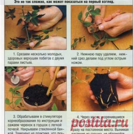 Черенкуем клематисы - МирТесен