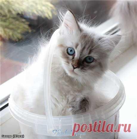 Невский маскарадный котик George Formula Uspekha*RUS