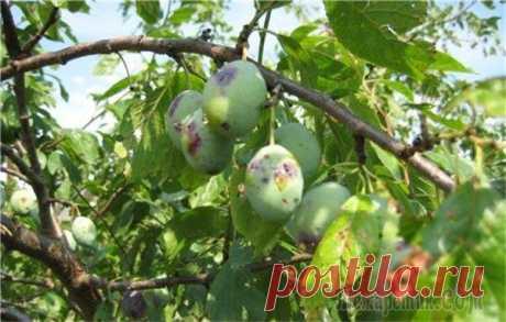 Слива: вредители и болезни, которые ей угрожают Слива – плодовое дерево с вкусными и полезными плодами, которые мы можем употреблять в свежем виде, варить варенья, джемы и компоты, сушить и замораживать. Она содержит множество витаминов, благотворн...