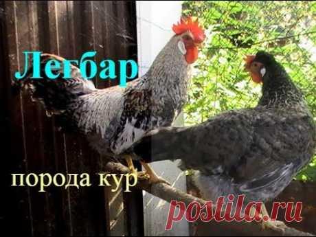 ЛЕГБАРЫ порода кур ХАРАКТЕРИСТИКА // ПТИЦА