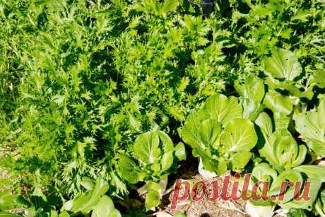 Японская капуста мизуна: выращивание, сорта, фото