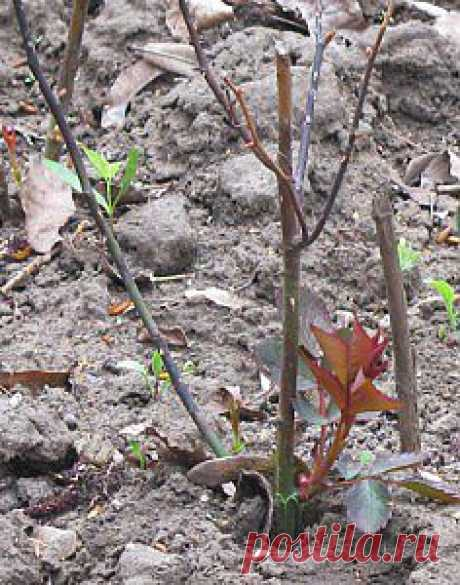 Проблемы при выращивании роз  