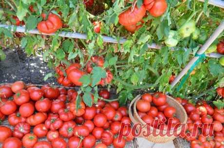 Как ухаживать и чем подкармливать томаты, чтобы был большой урожай? Делюсь 7 советами с которыми у меня всегда большой урожай.