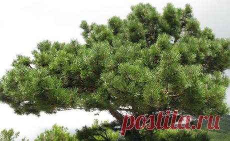 Деревья которые могут спасти вам жизнь. Нужно знать всем, кто ходит в лес🌲 | Мега Рыбак | Яндекс Дзен