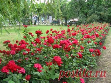 Как нужно укрыть розы, чтобы они хорошо перенесли зиму