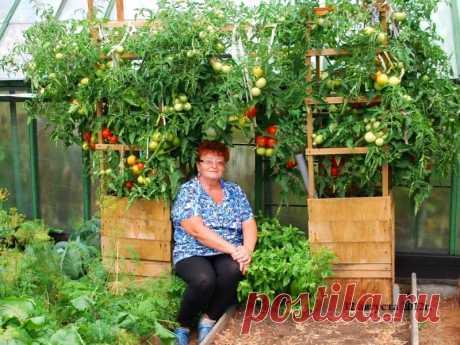 Как вырастить помидоры в бочке » Женский Мир