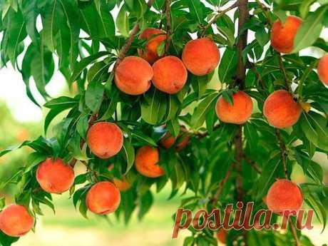 Выращивание персика на даче из косточки