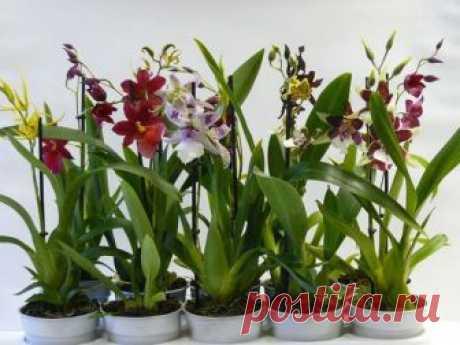 Орхидея камбрия: уход в домашних условиях