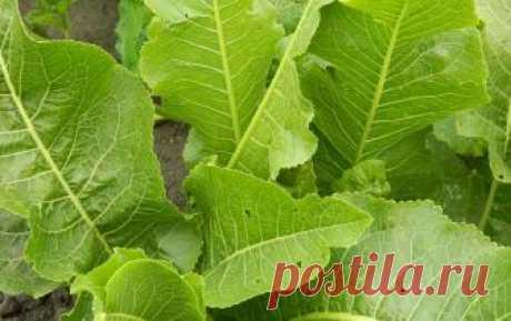 Листья хрена от ангины, остеохондроза, стоматита и от болезней печени - CELEBNIK. RU Хрен – долгожитель из семейства капустных, которого можно встретить по всей территории...