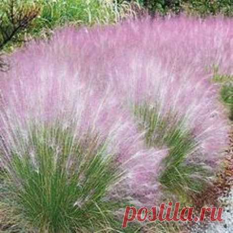 Best Sellers - Cotton Candy Grass. This colorful ornamental…