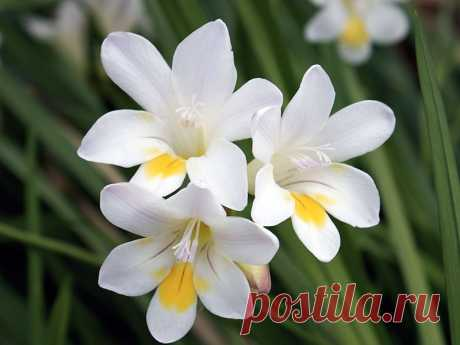 Цветок фрезия – посадка и уход, фото фрезии, выращивание фрезии в открытом грунте; фрезия в домашних условиях