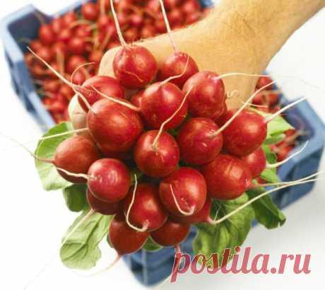 Выращивание редиса на подоконнике: посадка и уход