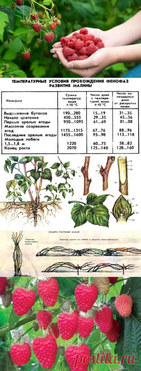 Подготовка малины к зиме и защита зимой — Бабушкины секреты