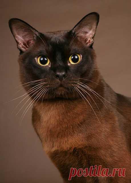 Бирманский кот.