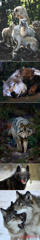 WOLVES& other Canidae в Pinterest
