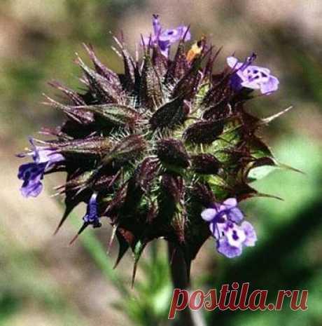 Семена ЧИА (Chia)- полезные свойства и рецепты